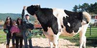 世界上最大的牛,重2000多斤,身高2米!