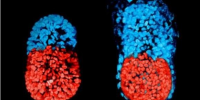 人造胚胎在正在冲击性与宗教